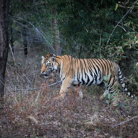 Wild Bengal Tigers