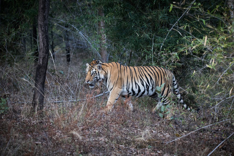 Wild Bengal Tigers, Bandhavgarh National Park, India