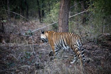 The Bengal Tiger, Bandhavgarh National Park, India