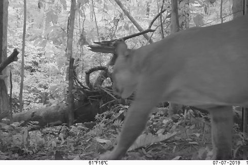 Large male Puma (Puma colcolor) Approaches the mirror for the first time and spends time with his competitor! Mirror Image Stimulation Study and the Competetive Recognition of Neotropical Big Cats
