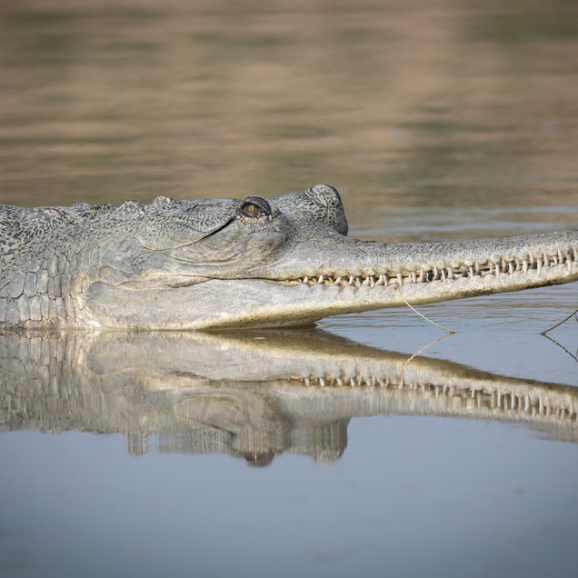 Gharial Reflection