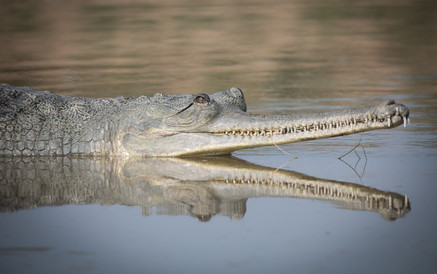 Adult Gharial Surfacing the Chambal River, India