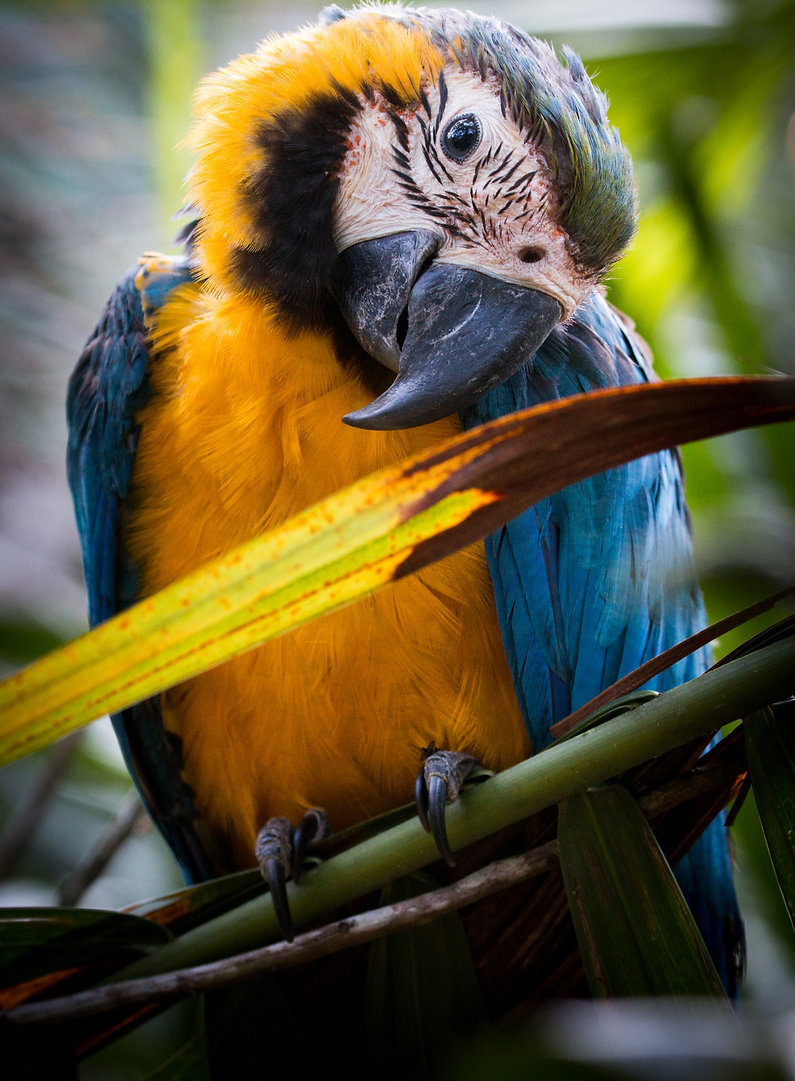 Juvenile%20Blue%20and%20Yellow%20Macaw%2