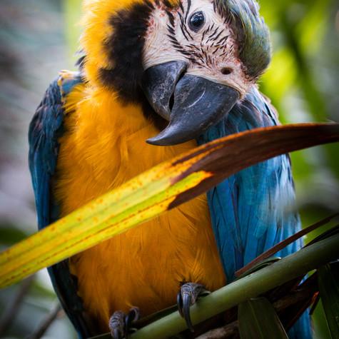 New Borne Blue-and-yellow Macaw (Ara ararauna)