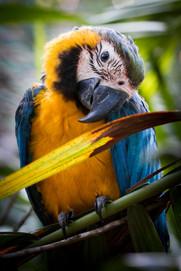 New Borne Blue-and-yellow Macaw, photographed along Tambopata River, Peruvian Amazon Rainforest