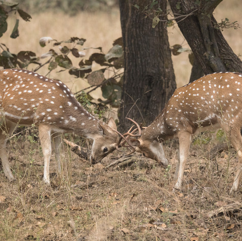 Indian Spotted Deers