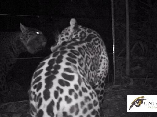 Mirror-Image Stimulation Study, Jaguar at River Pariamanu, Peru (21 Sep 2017)
