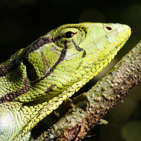 Amazon Monkey Lizard (Polychrus marmoratus)