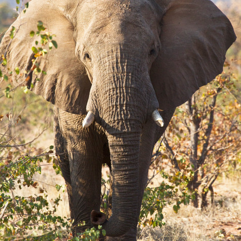 Bull African Elephant (Loxodonta)