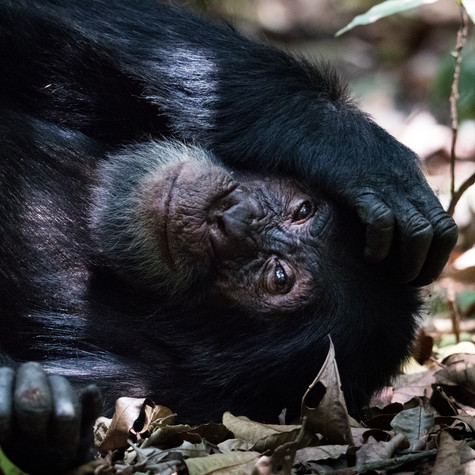 Rainforest Siesta (Pan troglodytes) Uganda