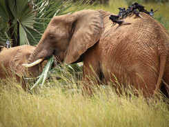African Elephants, Uganda Wildlife Photography Workshop/Safari