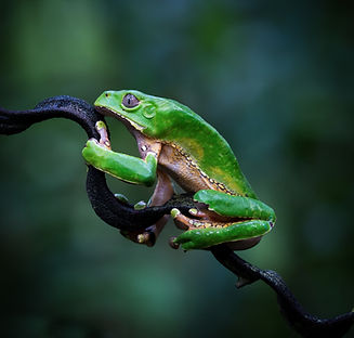 Giant Waxy Monkey Tree Frog (Phyllomedus
