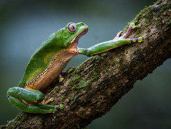 Giant Monkey Frog, Taylor Made Private Photography Tour