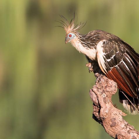Hoatzin (Ophisthocomus hoazin)