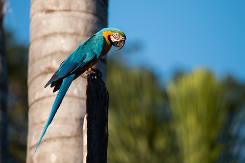 Blue-and-yellow Macaw, photographed at Lake Soledad, Peruvian Amazon Rainforest