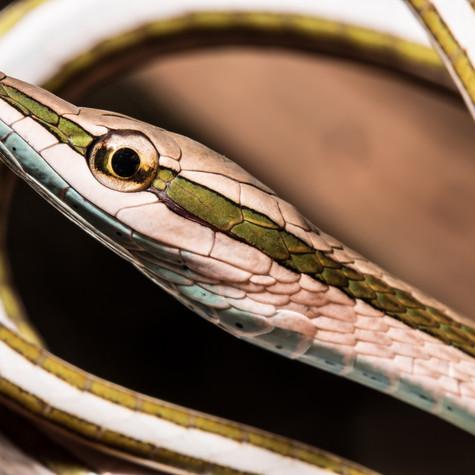 Green-striped Vine Snake (Philodryas argenteus)
