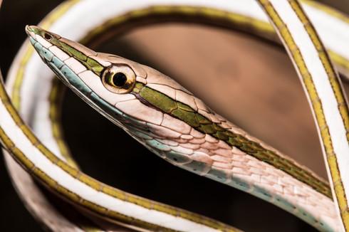 Green-striped Vine Snake, photographed along Madre de Dios River, Peruvian Amazon Rainforest