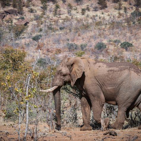 Lone Bull African Elephant (Loxodonta)