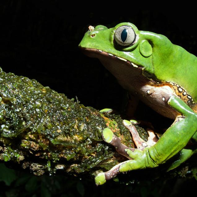 Giant Waxy Monkey Tree Frog (Phyllomedusa bicolor)