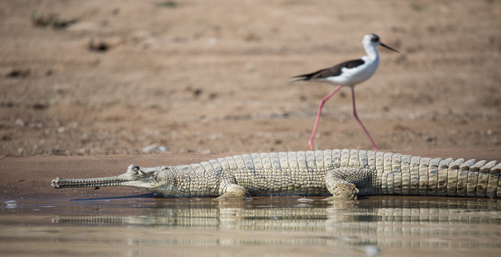Gharial and Stilt of the Chambal River, India