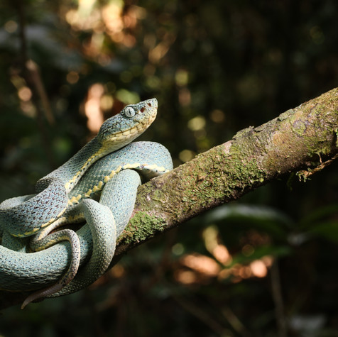 Two-striped Forest Pit Viper (Bothriopsis bilineata)
