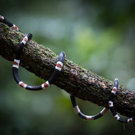Amazon Banded Snake (Rhinobothryum lentiginosum)