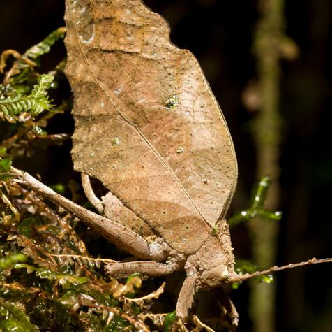 Brown Leaf Mimic Katydid