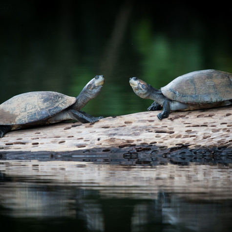 Yellow-spotted River Turtles (Podocnemis unifilis)