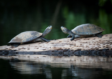 Yellow-spotted River Turtle, photographed at Lake Soledad, Peruvian Amazon Rainforest