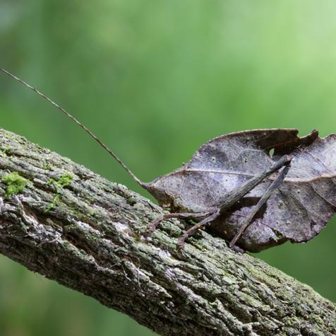 The Amazon's Leaf Mimic Katydid