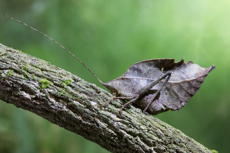 The Amazon's Leaf Mimic Katydid, photographed along Tambopata River, Peruvian Amazon Rainforest