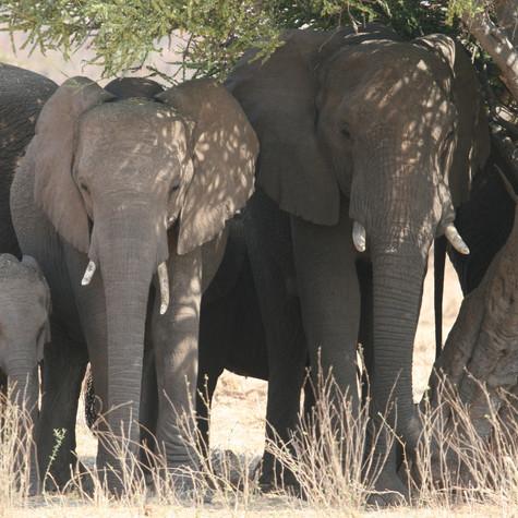 Bull African Elephants (Loxodonta)