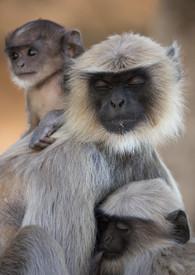 Northern Plains Gray Langur, Bandhavgarh National Park, India