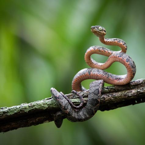 Amazon Tree Boa Juvenile (Corallus hortulanus)
