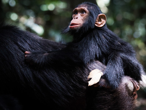 Chimp and Baby, Uganda Wildlife Photography Workshop/Safari