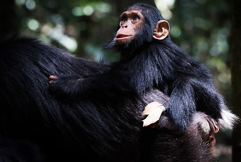 Baby%20Chimp%20and%20mother%2C%20Kibale_