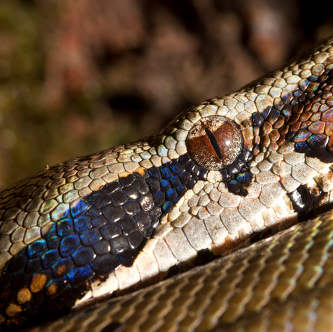 Red-tailed Boa Constrictor (Boa constrictor)