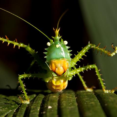 Spiny Devil Katydid, Ready to Dance