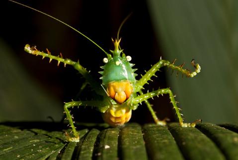 Spiny Devil Katydid, Ready to Dance, Yasuni National Park, Ecuador