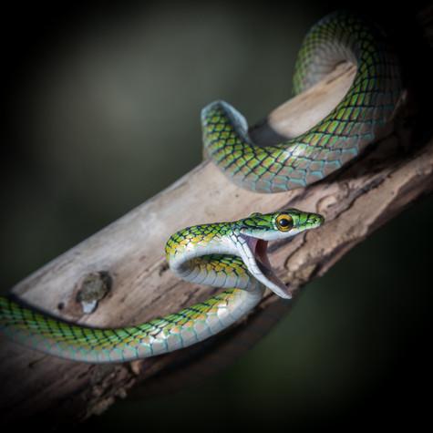 Parrot Snake (Leptophis ahaetulla nigromarginatus)