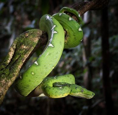 Emerald Tree Boa, photographed along the Madre de Dios River, Peruvian Amazon Rainforest