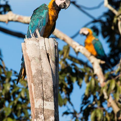 Blue-and-yellow Macaw's (Ara ararauna)