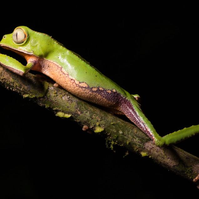 White-lined Monkey Frog (Phyllomedusa vaillantii)