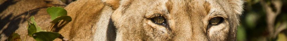 African%20Lion%20(Panthera%20leo)%20Zimb