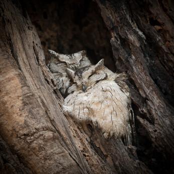 Indian Scops Owl, Bandhavgarh National Park, India
