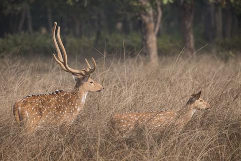 Indian Spotted Deer, Bandhavgarh National Park, India