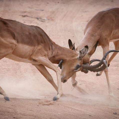 Rutting Impala's (Aepyceros melampus)