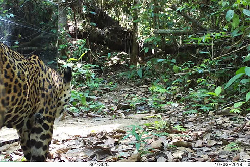 Beautiful female Jaguar (Pantera Onca) approaches a mirror for the first time and the results are amazing. Mirror Image Stimulation Study and the competetive recognition behaviors of Neotropical Big Cats