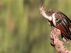 Hoatzin, Amazon Rainforest Photography Workshop/Tour