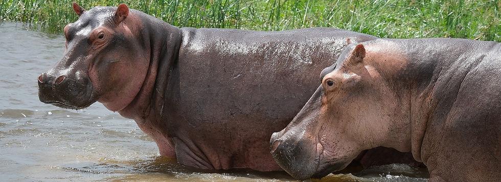hippos_edited.jpg